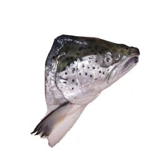 Ora King Fish Head